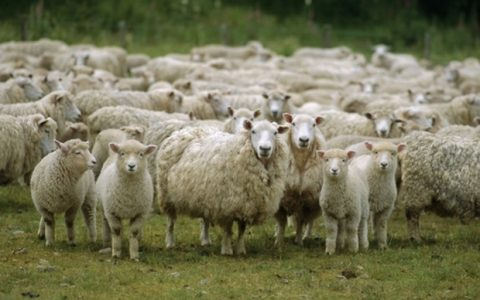 Sheep Protesting