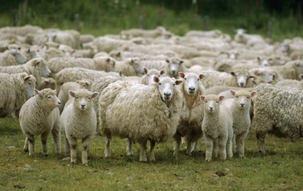 Sheep Protesting