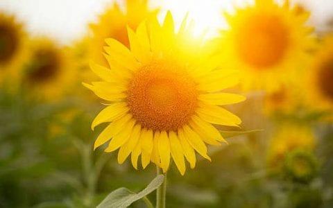 Το ηλιοτρόπιο, του Ευγένιου Τριβιζά