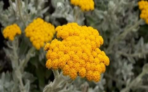Ελίχρυσος: ένα φυτό με πολλές χρήσεις