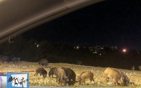 Οικογένειες αγριογούρουνων δίπλα στον κεντρικό δρόμο του Ν.751 στο Πανόραμα!