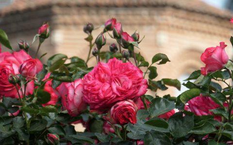 Ο «Κήπος με τα ρόδα» της Παναγίας Χαλκέων