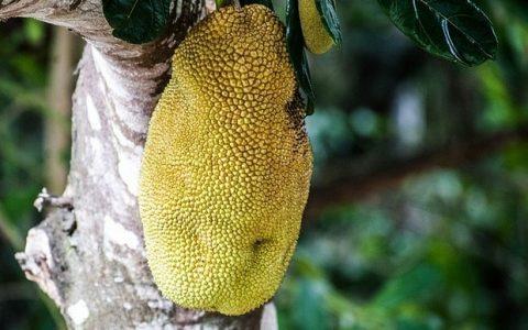 Jackfruit: το εξωτικό φρούτο με τα πολλά οφέλη για την υγεία μας!