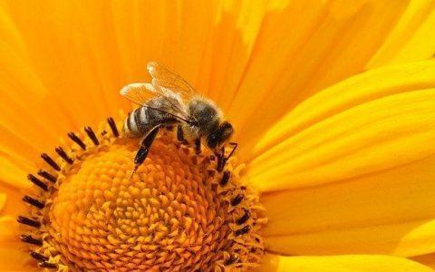 Τα εκπληκτικά οφέλη της γύρης των μελισσών